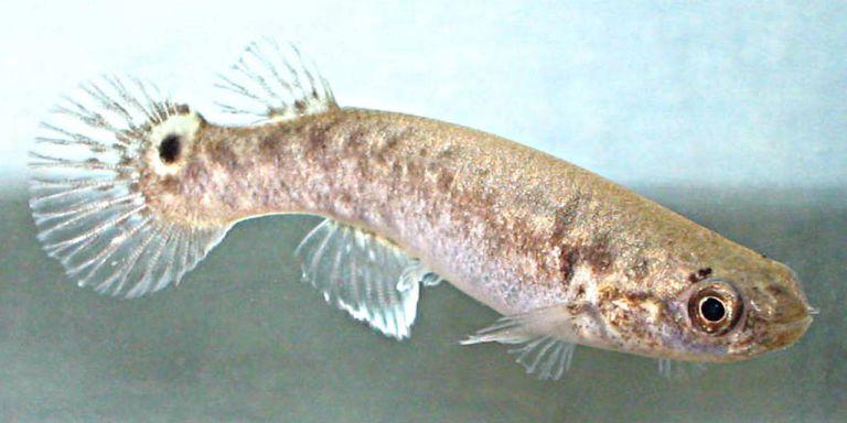 أسماك المنغروف
