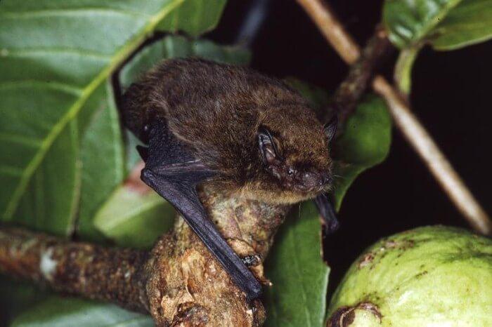 خفاش جزيرة الكريسماس