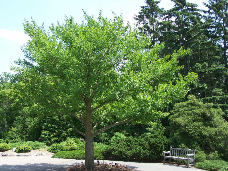شجرة الجنكة