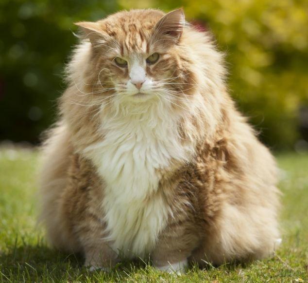 القط النرويجي أولريك