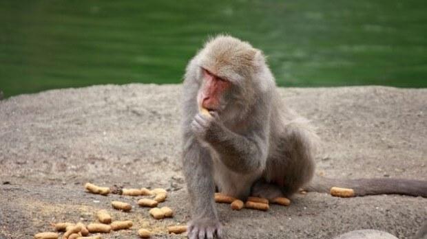 قهوة بصاق القرد