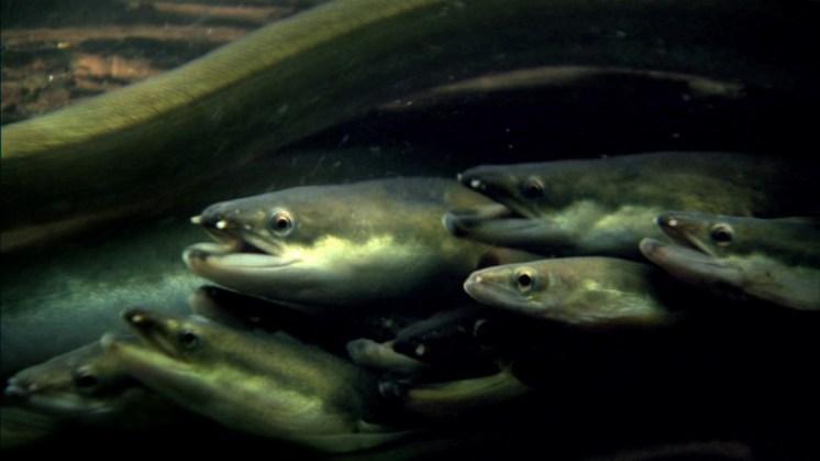 سمك الأنقليس الرعاد