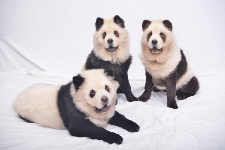 كلاب الباندا