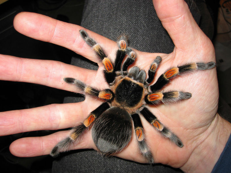 عنكبوت الرتيلاء المكسيكي
