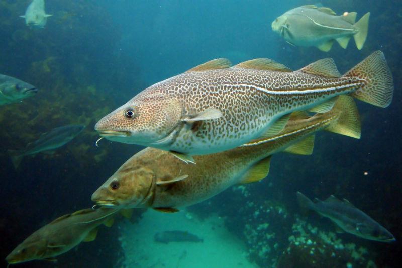 سمك القد الأطلسي