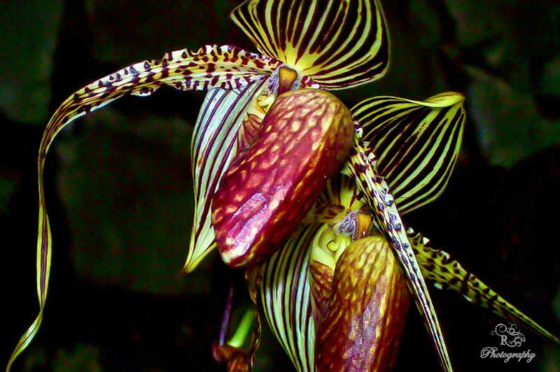 زهرة أوركيد كينابالو الذهبية