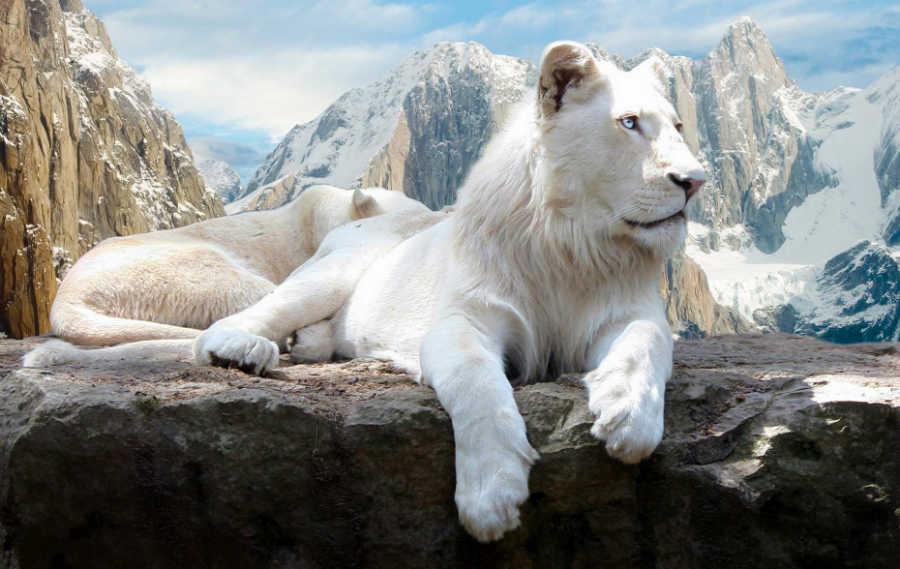 الأسد الأبيض