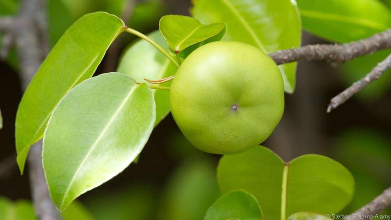 شجرة المنشينيل