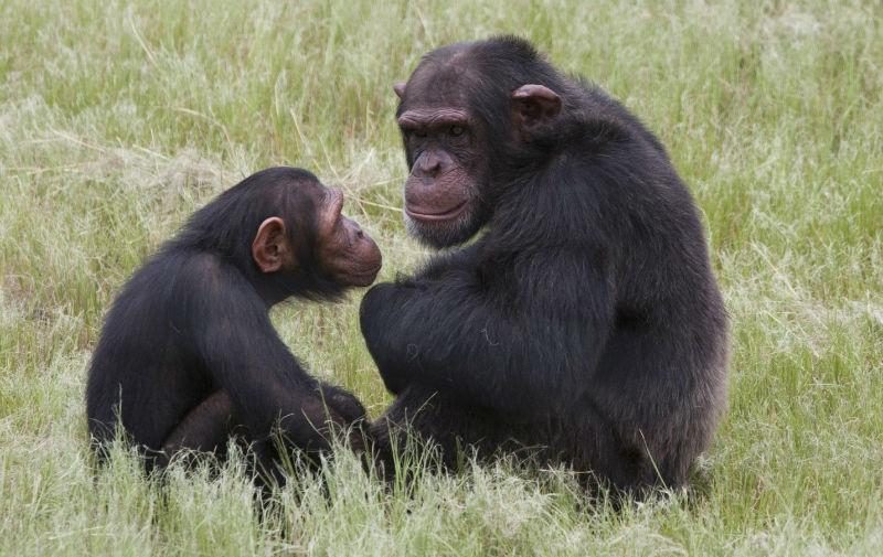 قرود الشمبانزي