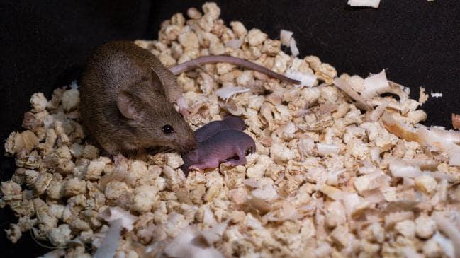 صغار الفئران بدون ذكور