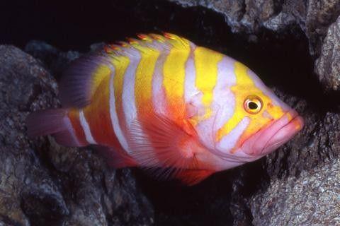 سمكة Neptune Grouper