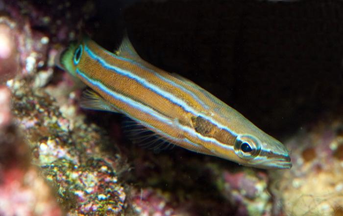 سمكة Flathead Perch