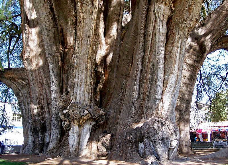 أقدم شجرة في العالم