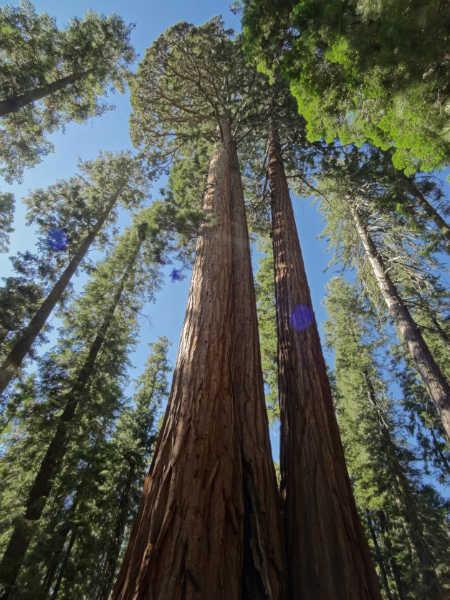 أطول أشجار العالم